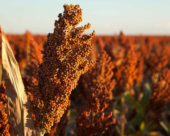 National Sorghum Producers Contact The Voice Of The Sorghum Industry