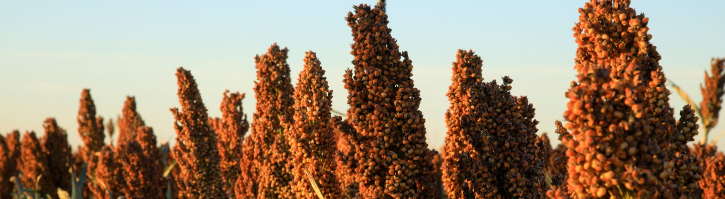 ServingUpSorghum Header